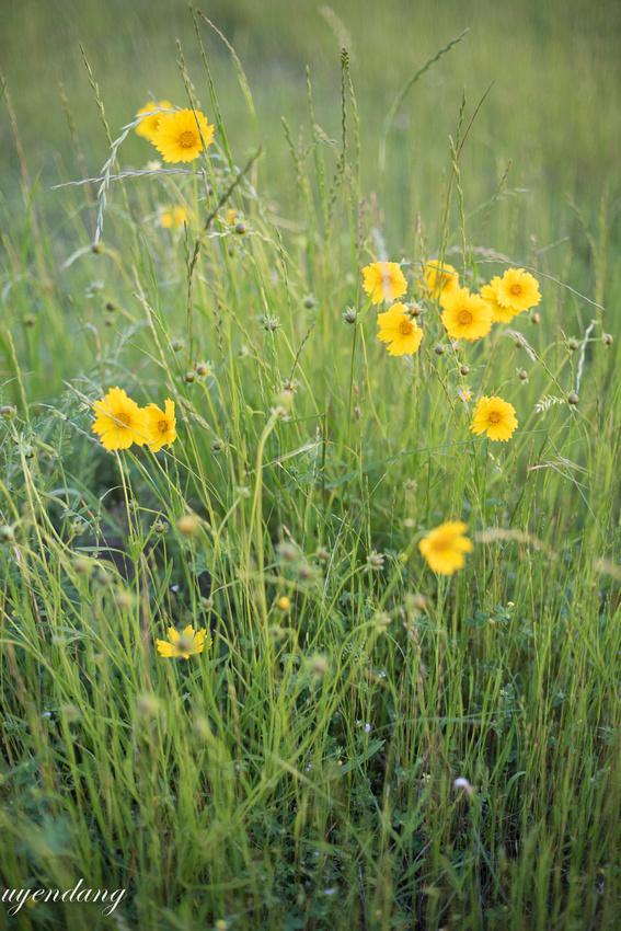 Tickseed wild flowers
