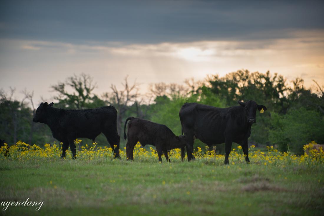 Three Cows Grazing