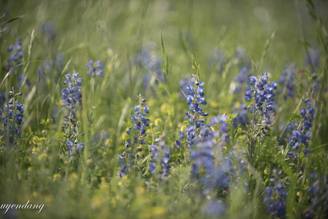 Fluttering Blue bonnets